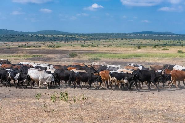 LA TRANSHUMANCE TRANSFRONTALIÈRE ET L'AGRICULTURE EN AFRIQUE DE L'OUEST