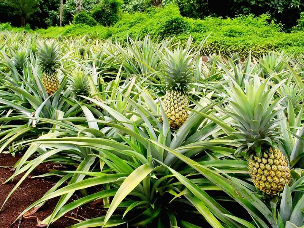 Culture de l'ananas