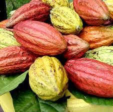Traitement industriel du cacao