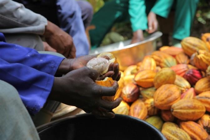 Production de cacao en côte d'Ivoire
