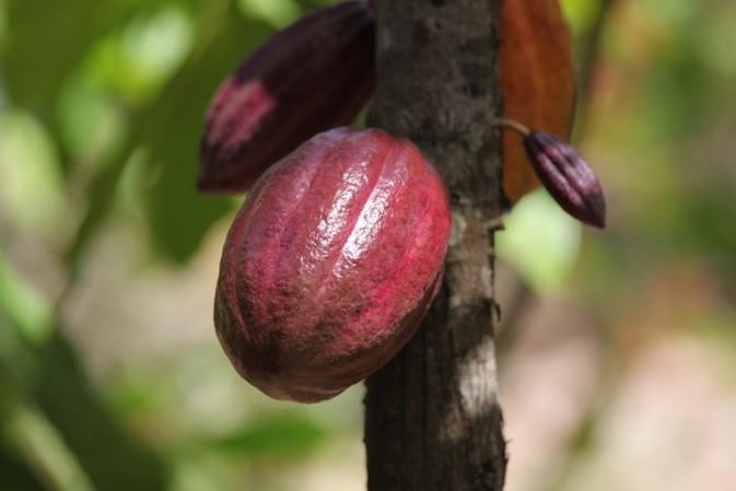 Le cacao en Côte d'Ivoire