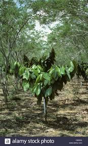 Agroforesterie au Ghana