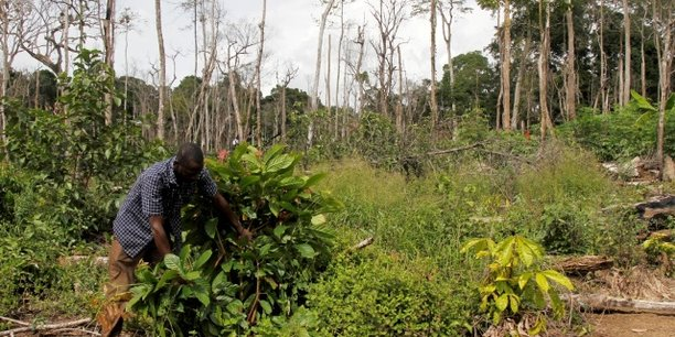 Agroforesterie et cacao