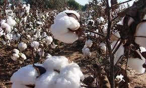 La campagne 2019/20 de commercialisation du coton graine a été lancée au Bénin