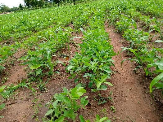 Mawussi Nous enregistrons une bonne pluviométrie dans la zone Bassar, d'où bon développement des plants de soja sur nos parcelles