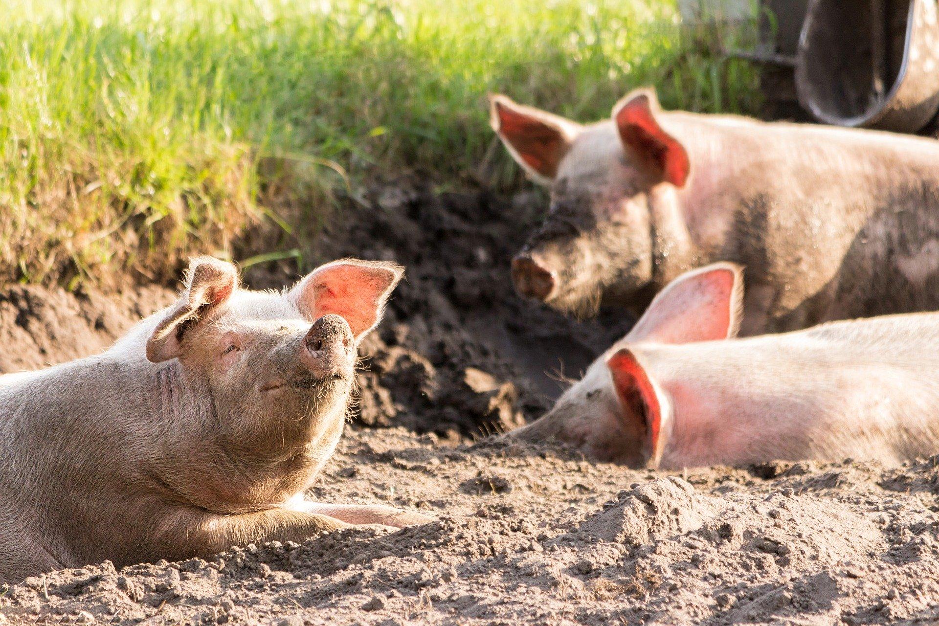 Revue des marchés du 29 Avril 2020 : Le porc
