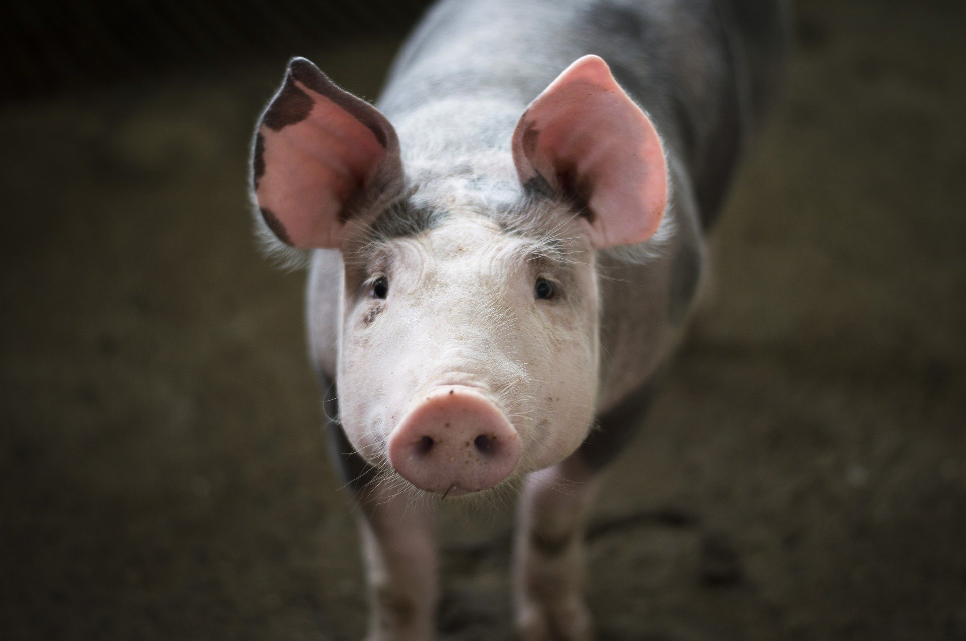 Revue des marchés du 04 Mai 2020 : Le porc