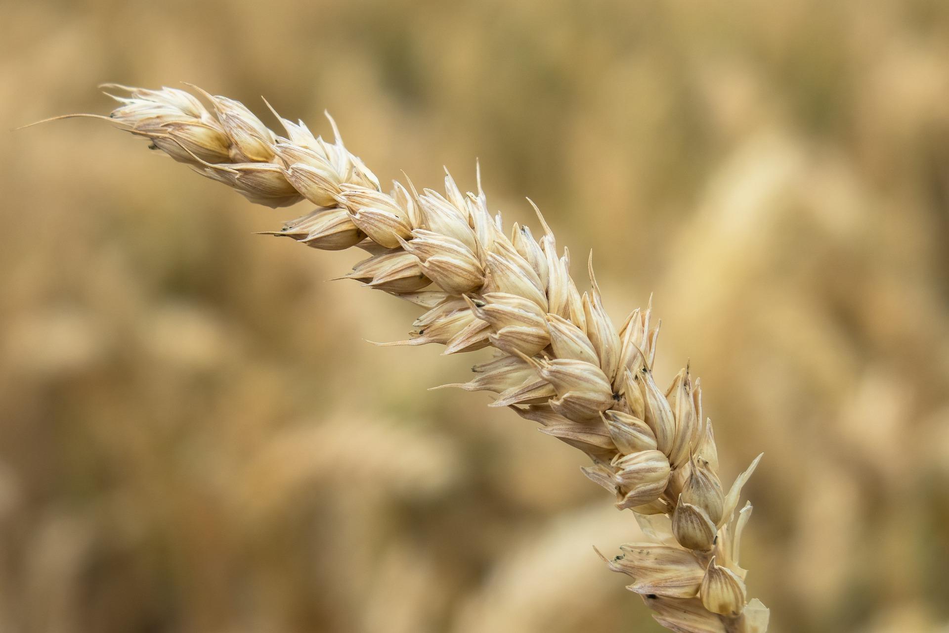 Revue des marchés du 04 Mai 2020 : Le blé