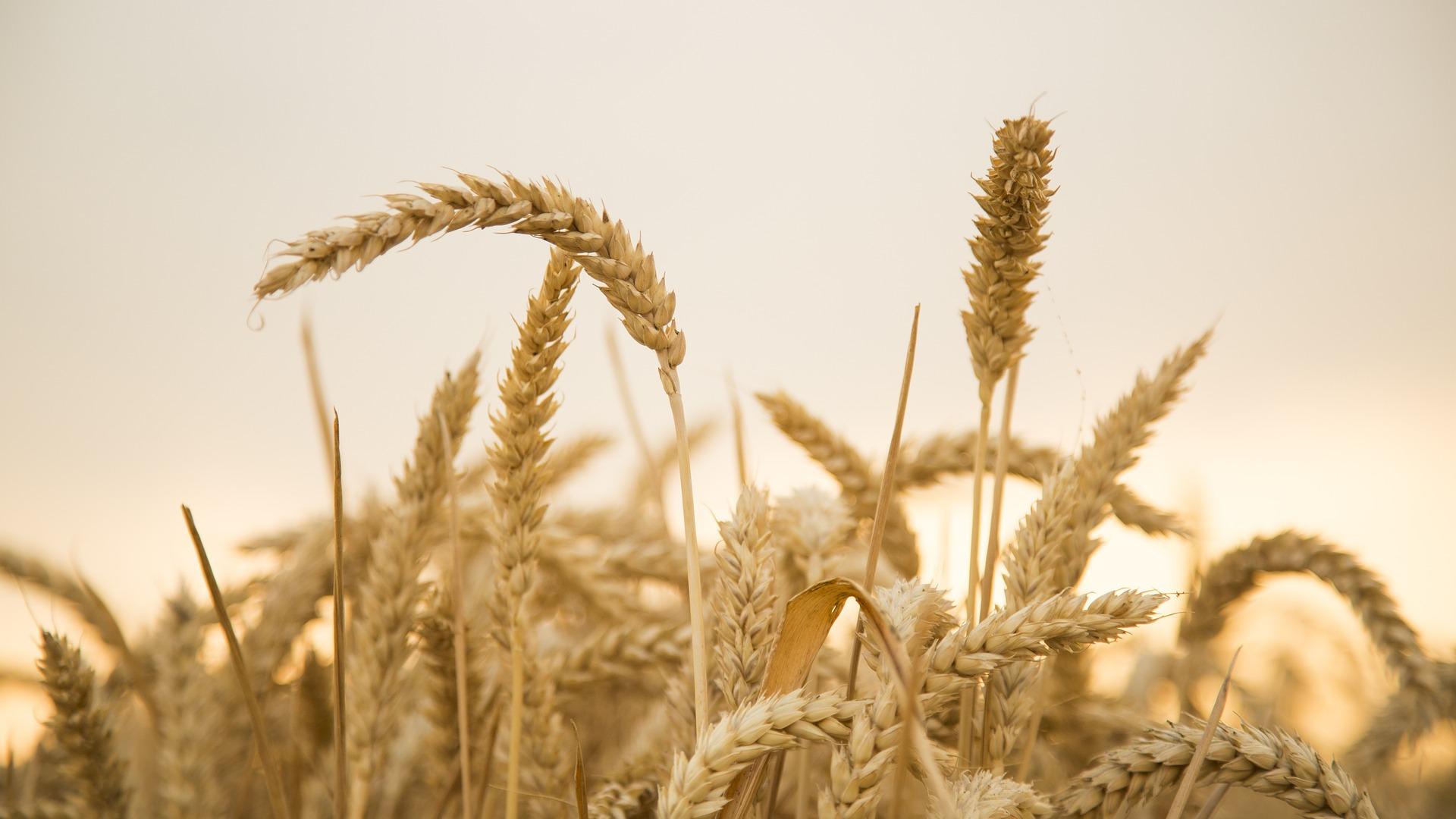 Revue des marchés du 7 Mai 2020 : Le blé