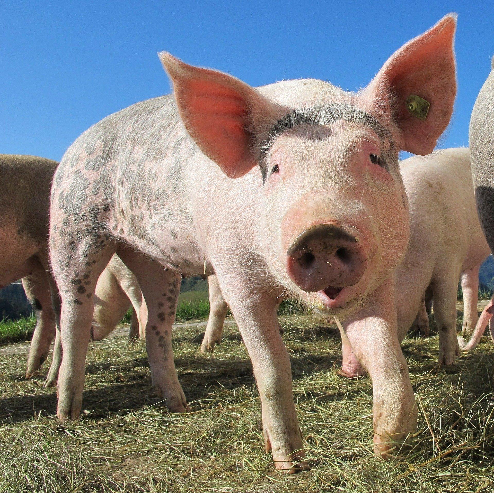 Revue des marchés du 7 Mai 2020 : Le porc