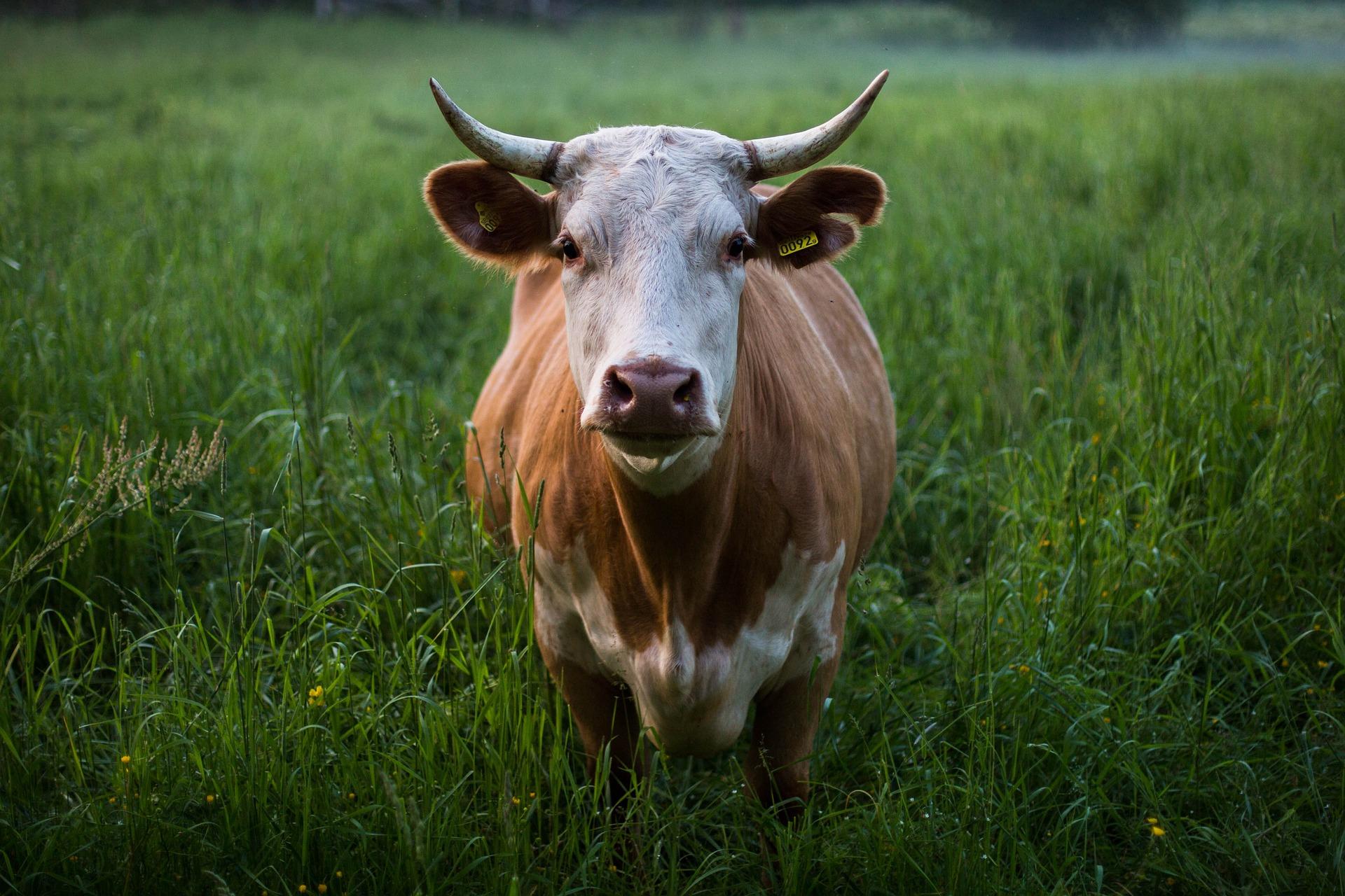Revue des marchés du 13 Mai 2020 : Le bœuf