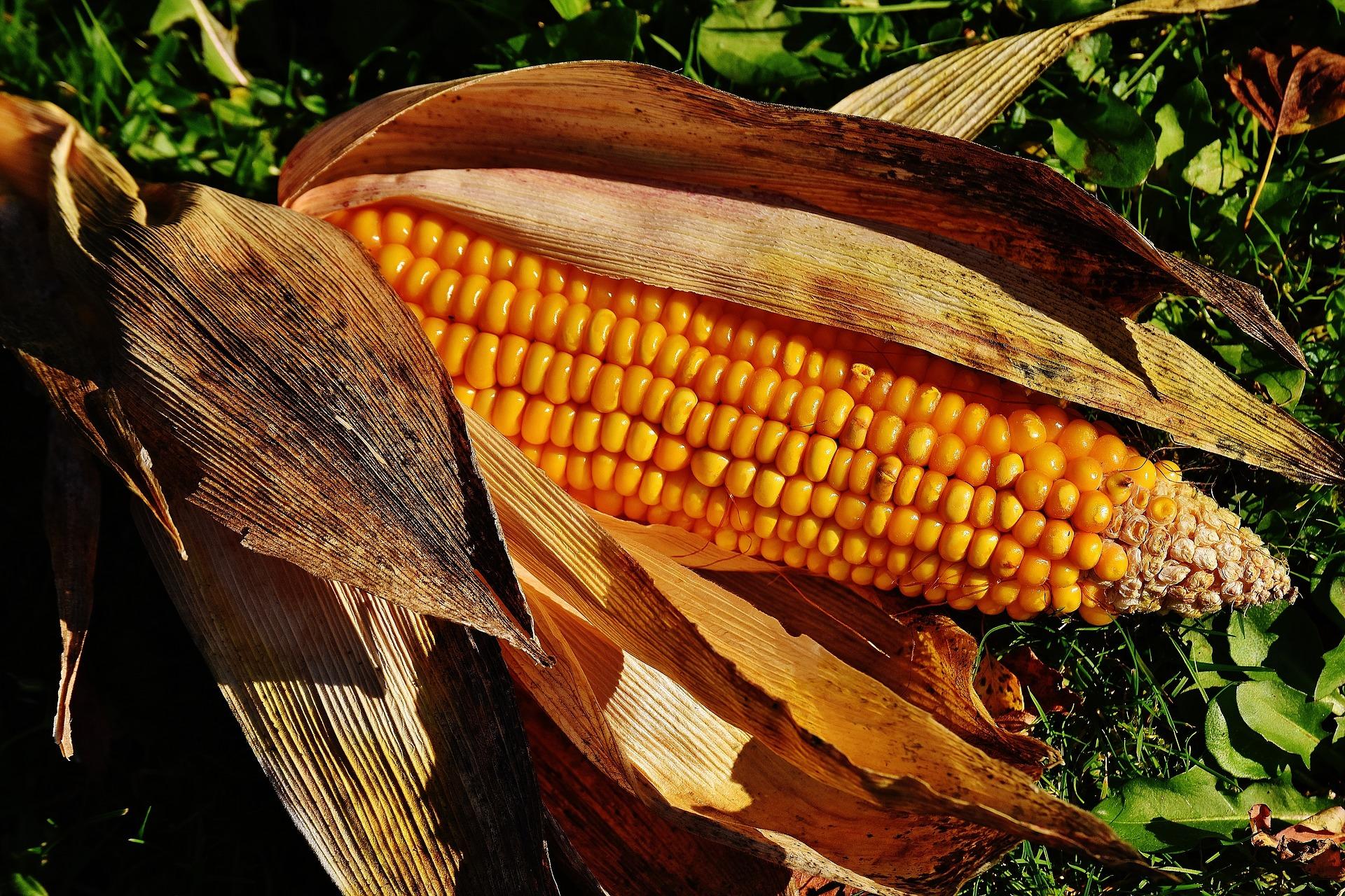 Revue des marchés du 13 Mai 2020 : Le maïs