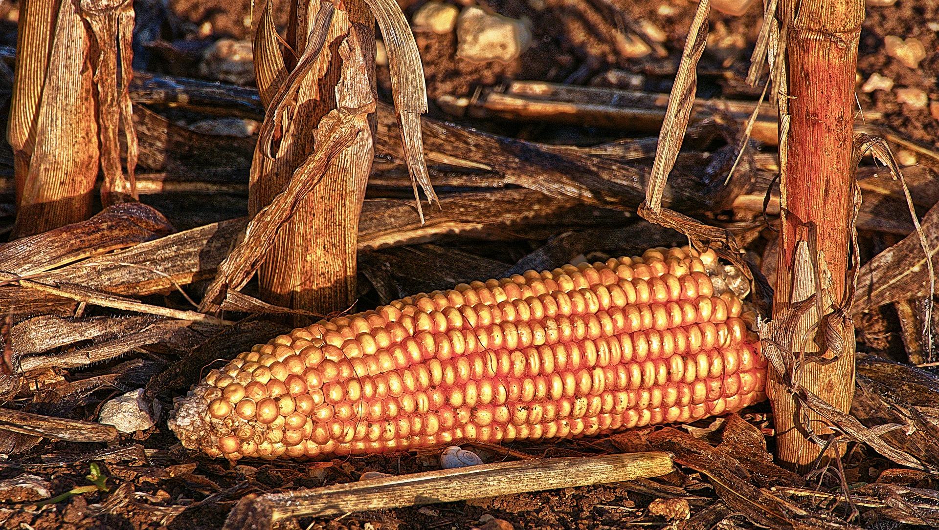 Revue des marchés du 14 Mai 2020 : Le maïs