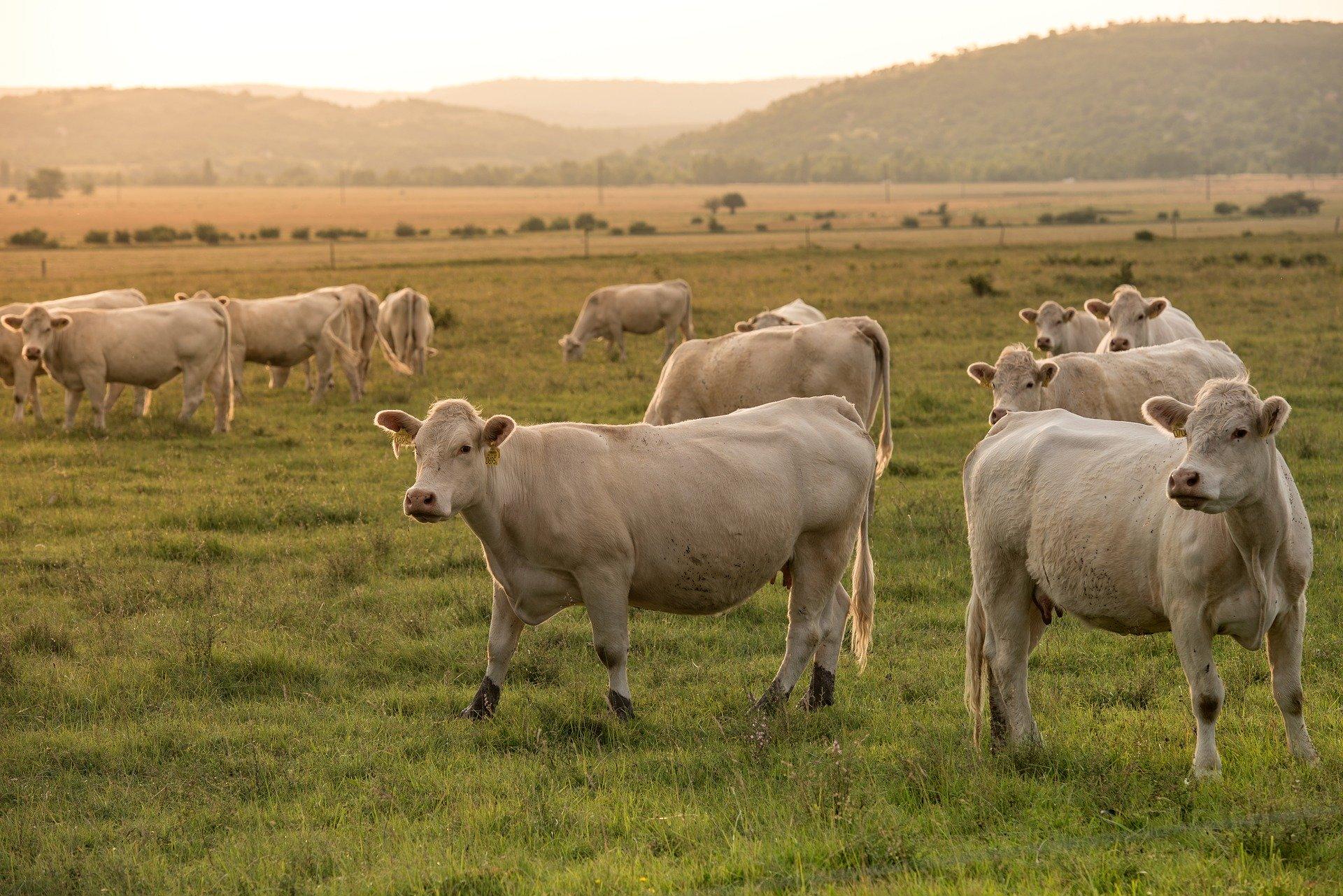 Revue des marchés du 14 Mai 2020 : Le bœuf