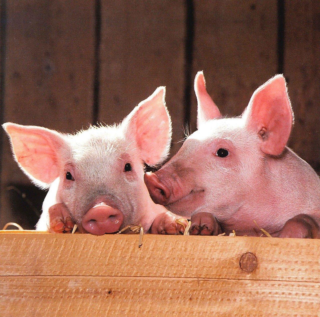 Revue des marchés du 14 Mai 2020 : Le porc