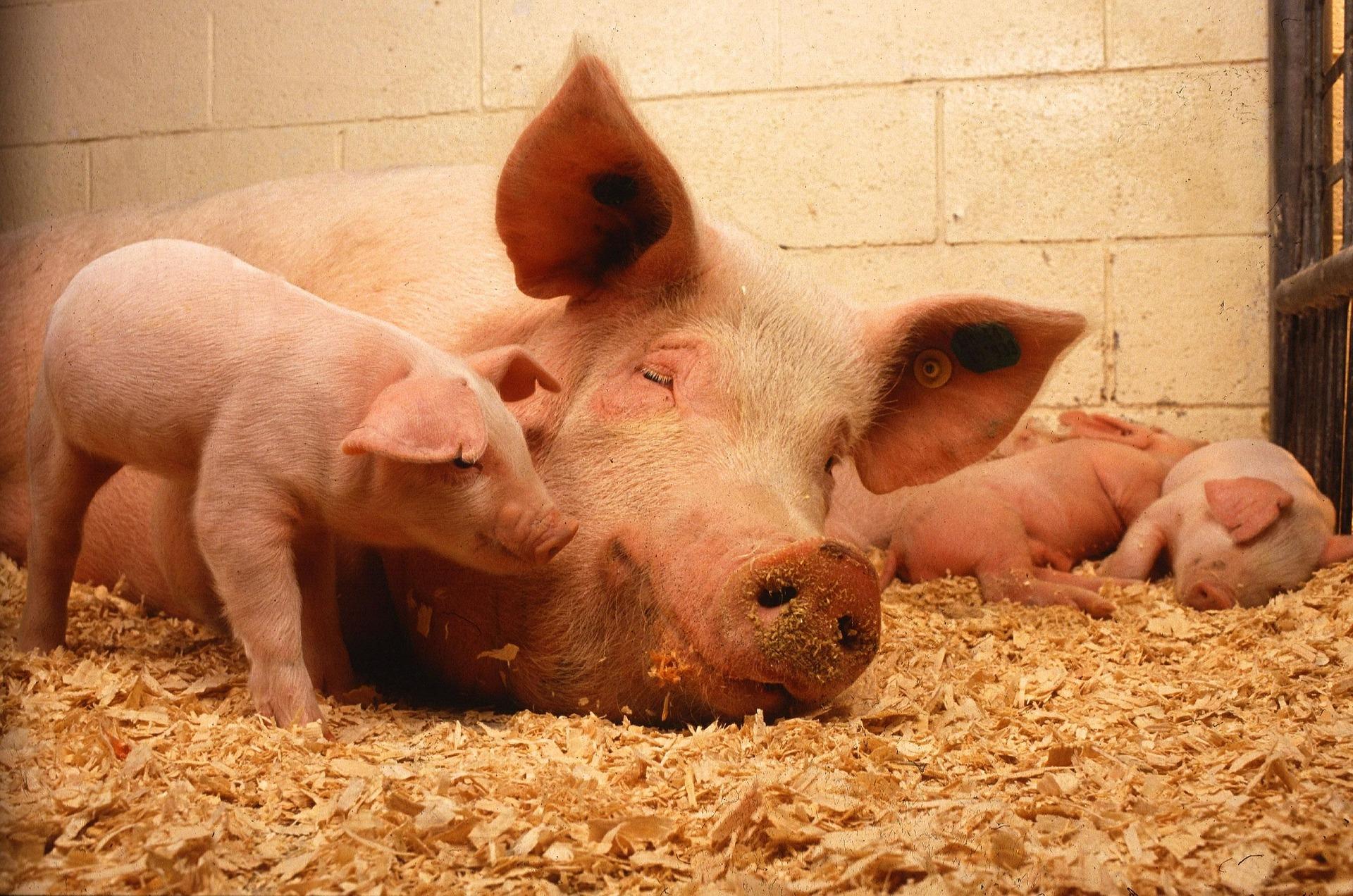 Revue des marchés du 18 Mai 2020 : Le porc