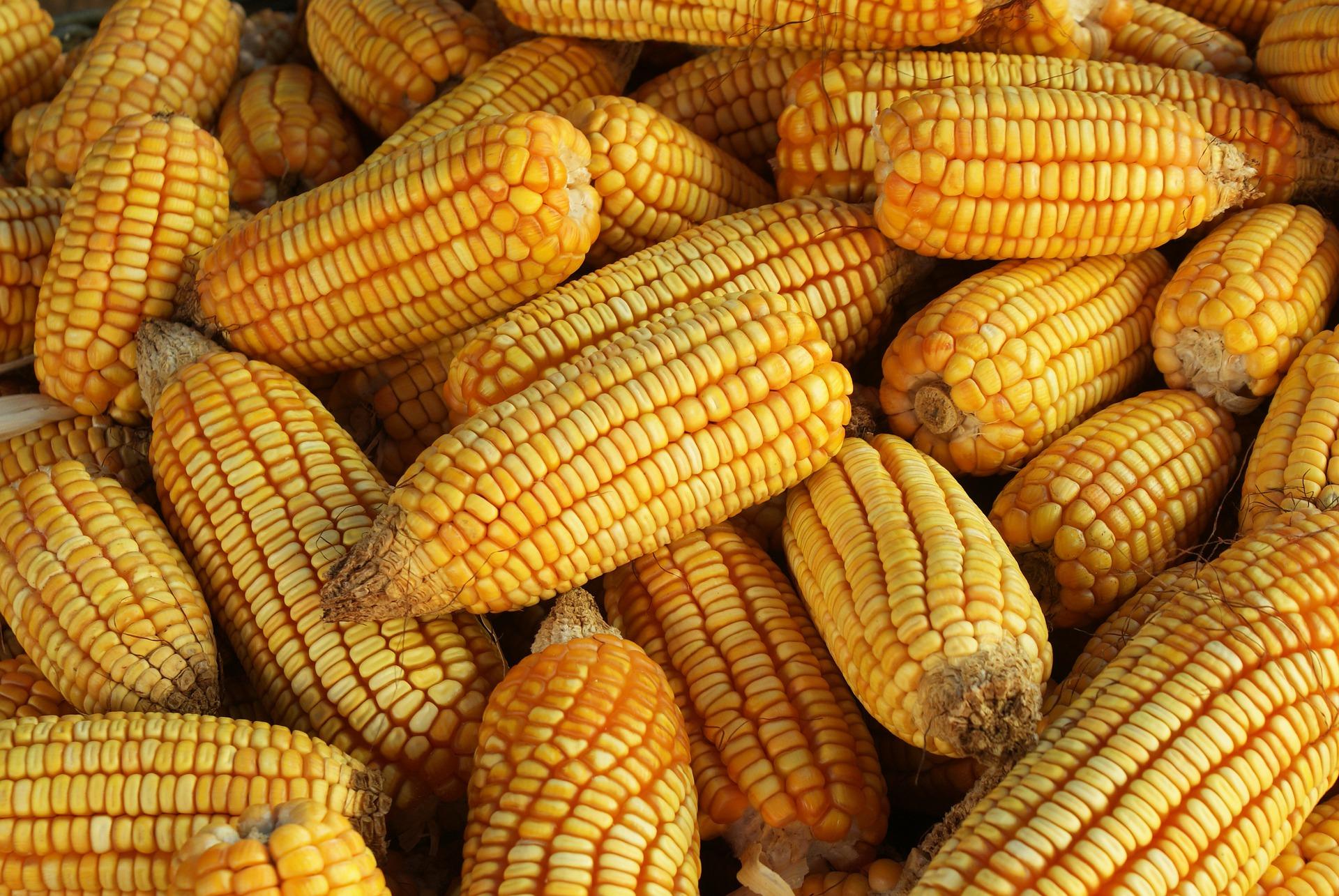 Revue des marché du 22 Mai 2020 : Le maïs
