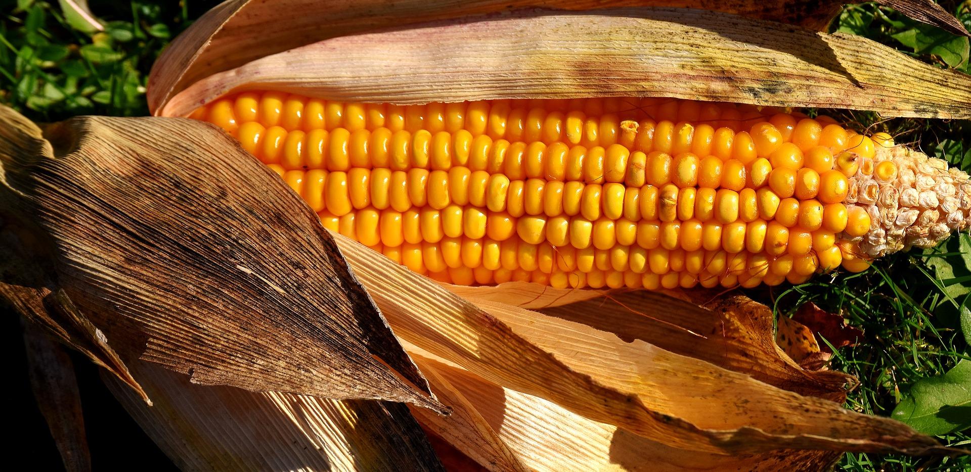 Revue des marchés du 28 Mai 2020 : Le maïs