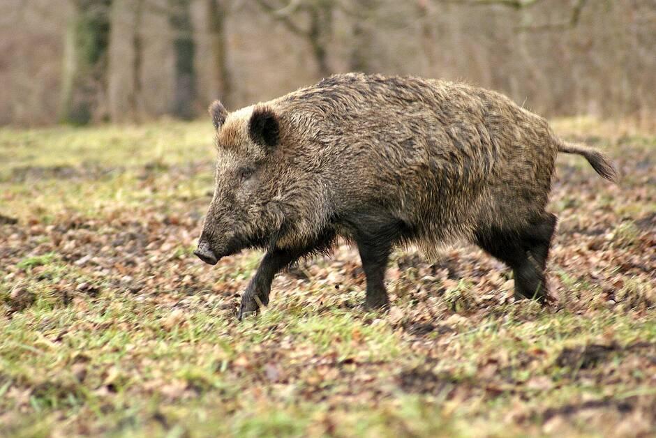 La Nouvelle-Aquitaine lance la chasse aux sangliers et aux chevreuils avec plus de deux mois en avance