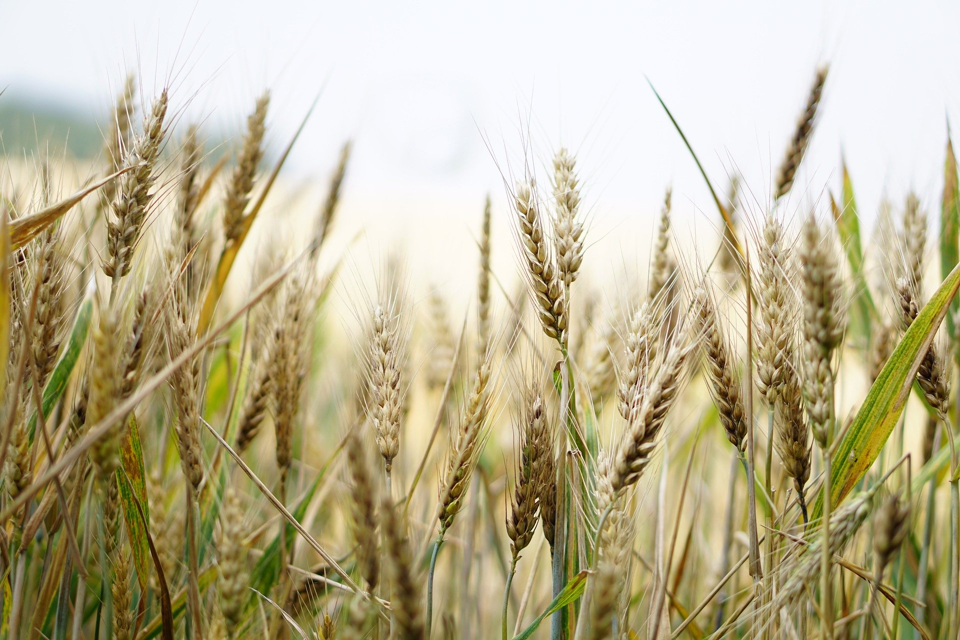 Revue des marchés du 8 Juin 2020 : Le blé