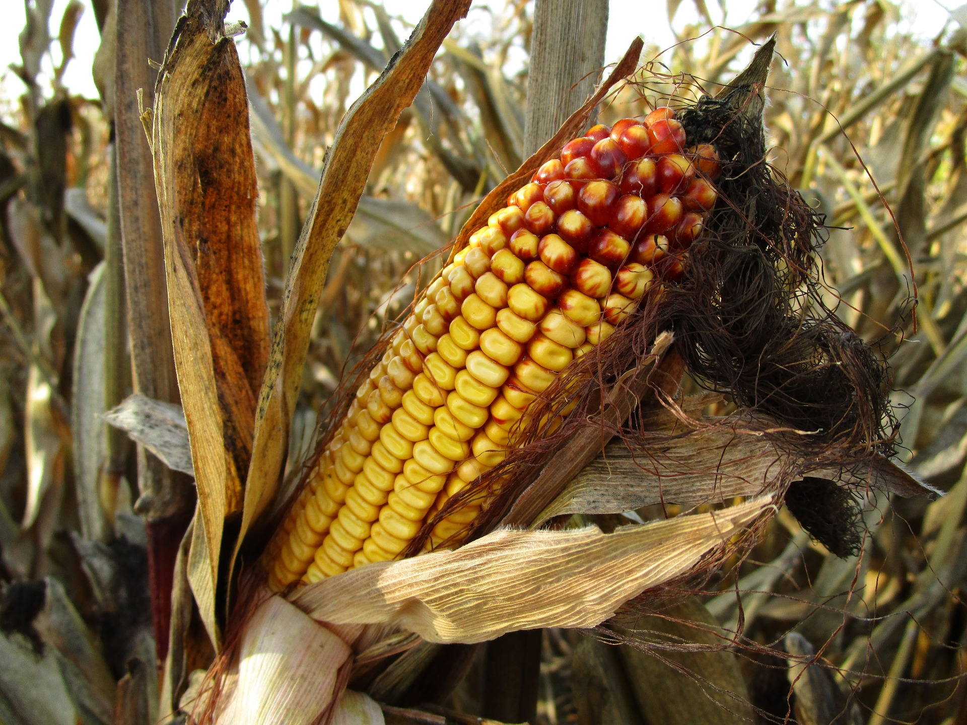 Revue des marchés du 11 Juin 2020 : Le maïs