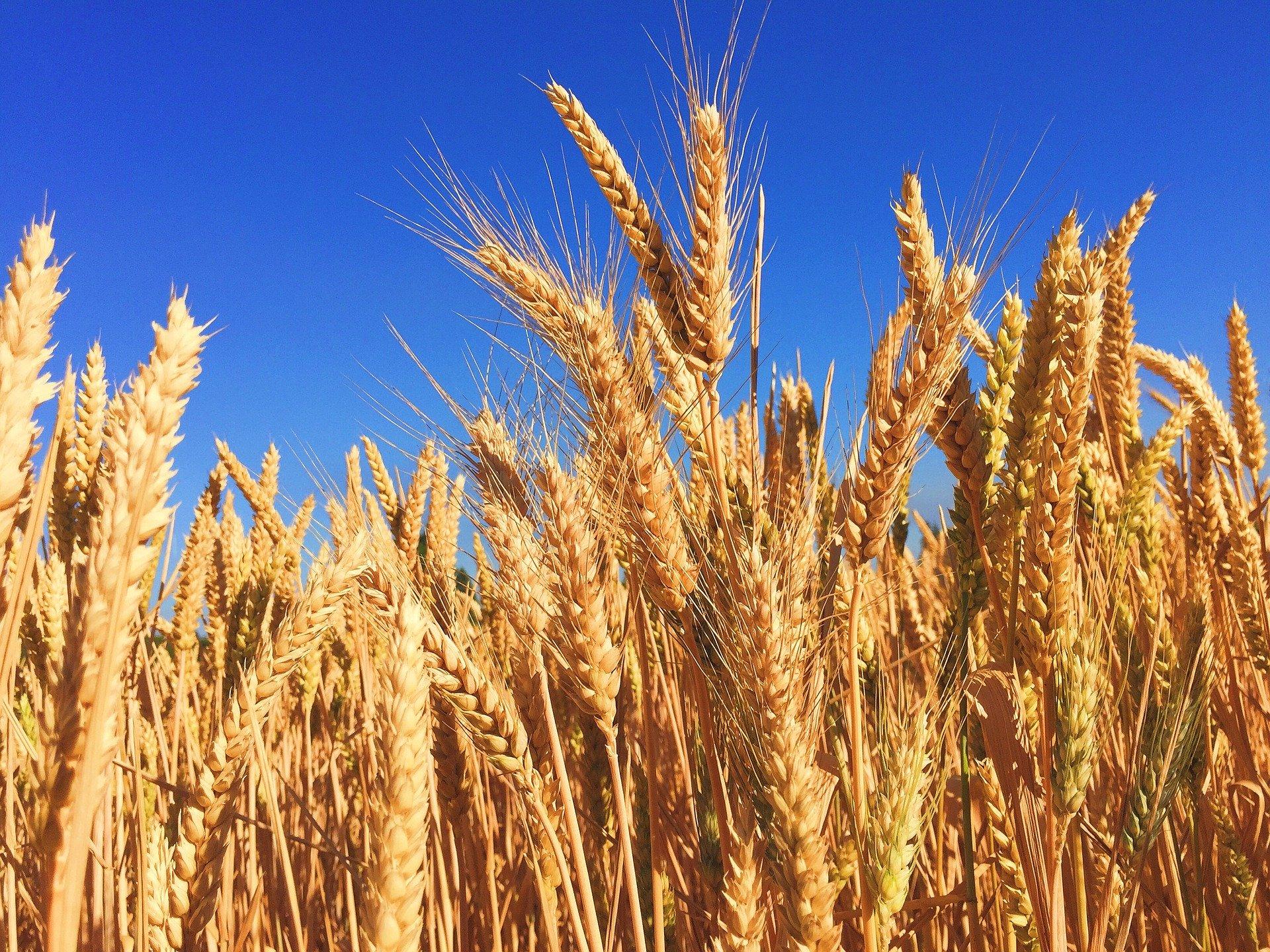 En 2020/2021, l'Afrique du Nord pourrait être le premier importateur mondial de blé
