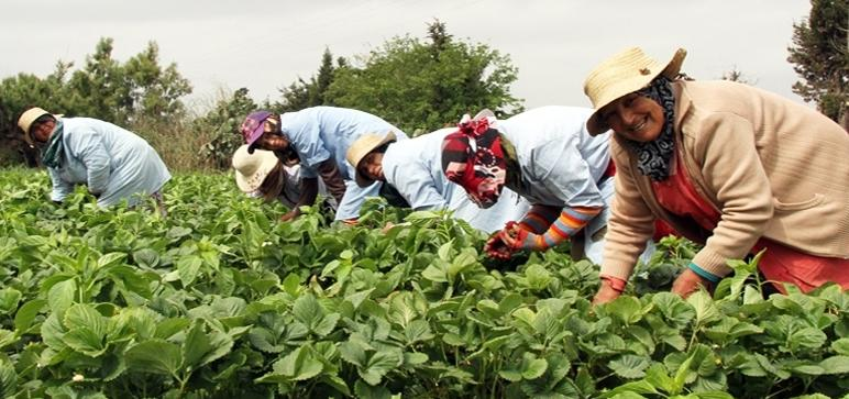 À Souss-Massa, le mot d'ordre est de continuer la production agricole et approvisionner les marchés