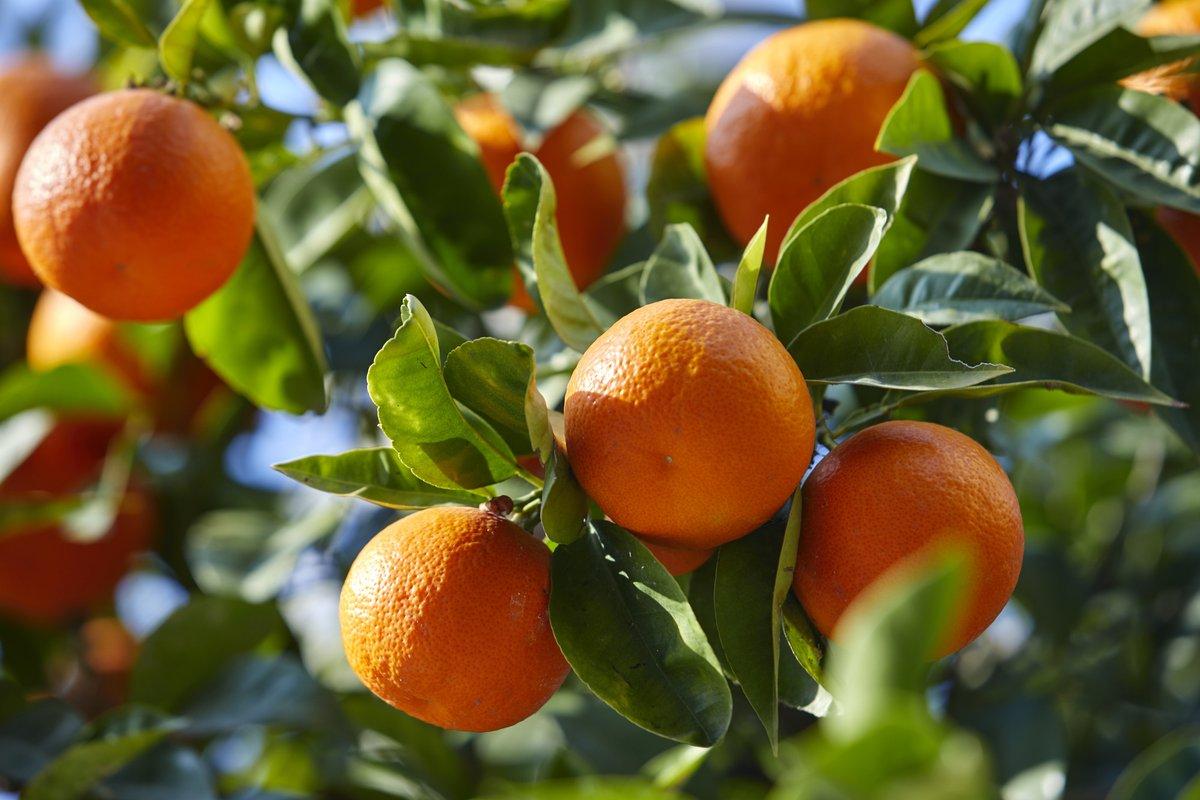 Les exportations de mandarines de la Turquie vers la Russie ont connu une hausse de 49% en valeur et de 37% en quantité