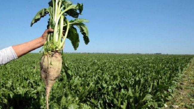 Un record d'un million de tonnes est attendu à béni mellal-khénifra pour la betterave à sucre