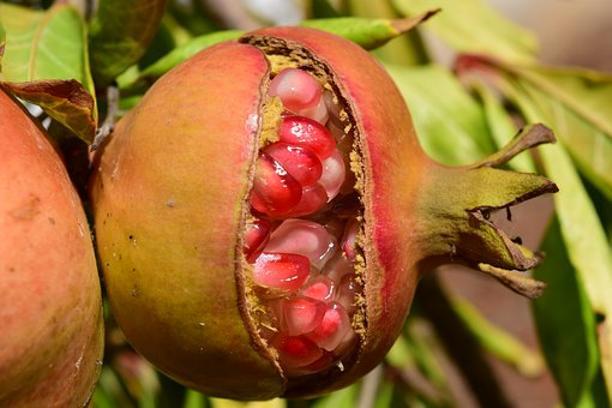 Les agriculteurs tunisiens de grenades sont appelés à commencer la lutte biologique contre l'Ectomyelois ceratoniae