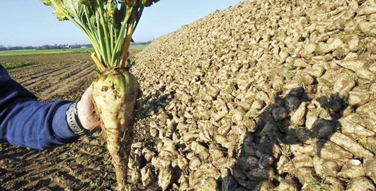 La campagne sucrière au Loukkos se caractérise par le doublement de la superficie emblavée en betterave à sucre.