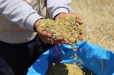 À Khouribga, le semis direct atteint un résultat prometteur