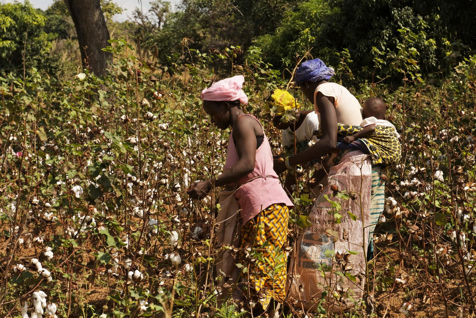 Au Tchad, la campagne agricole des cotonculteurs sauver par le gong