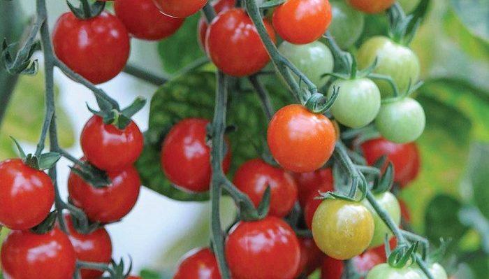 Les agriculteurs marocains facturent leurs tomates 59% moins chères que ceux d'Espagne