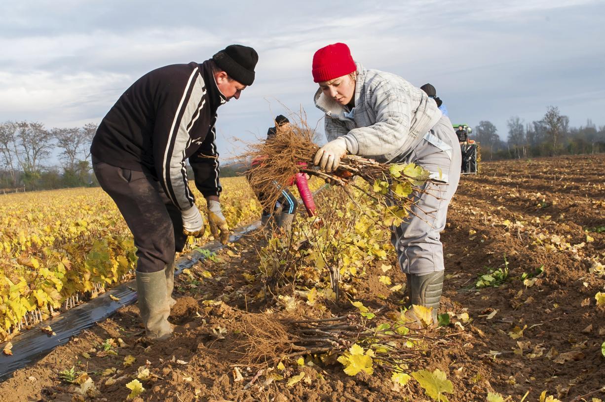 L'arrivée des saisonniers marocains en Italie donne un coup de vent à l'agriculture du pays