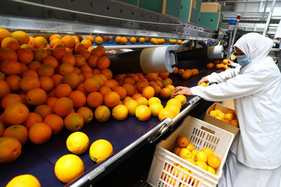 L'Égypte devance l'Espagne dans l'exportation d'oranges avec 1,87 millions de tonnes