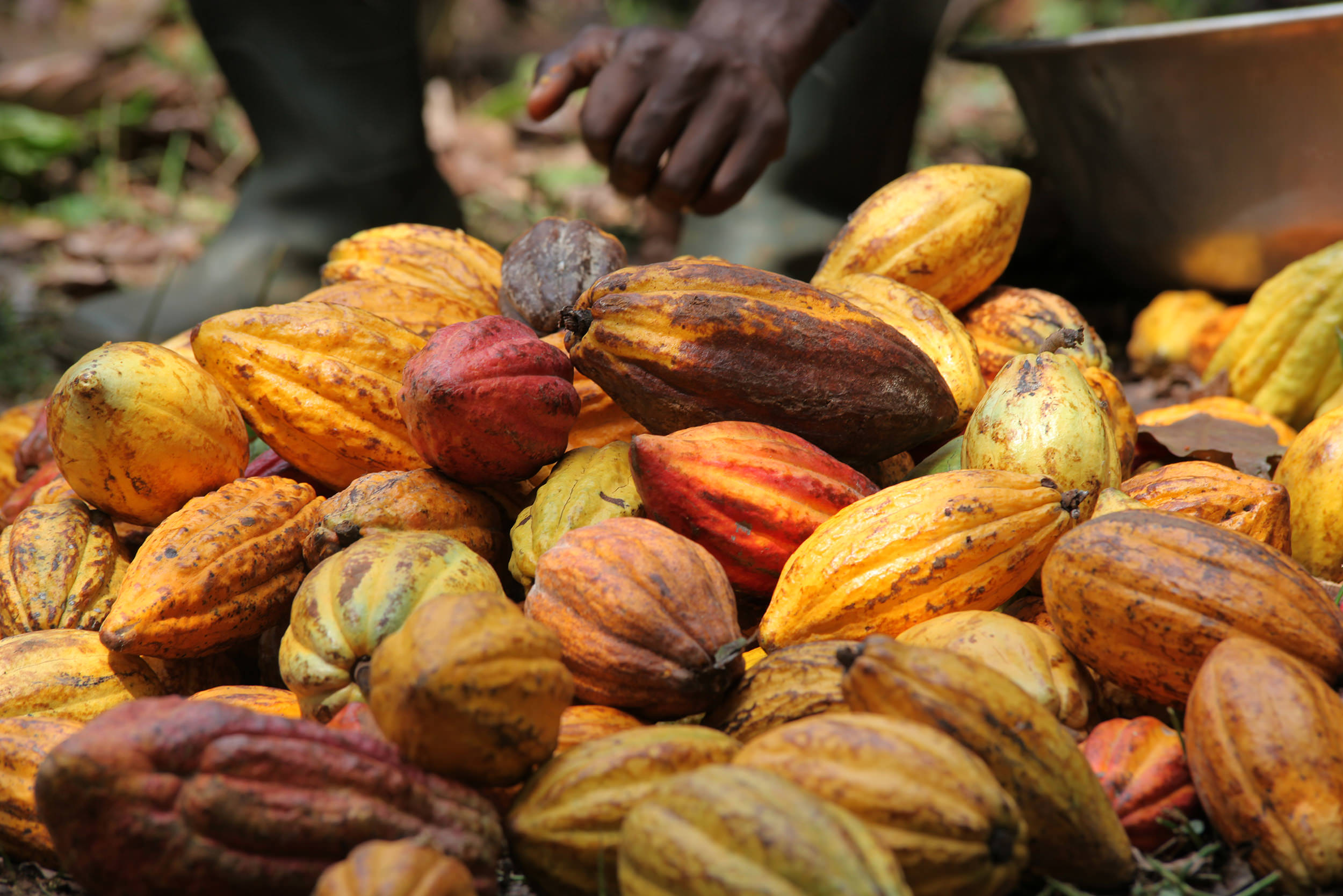 En Côte d'Ivoire, le Conseil Café Cacao (CCC) à l'écoute des exportateurs nationaux de cacao