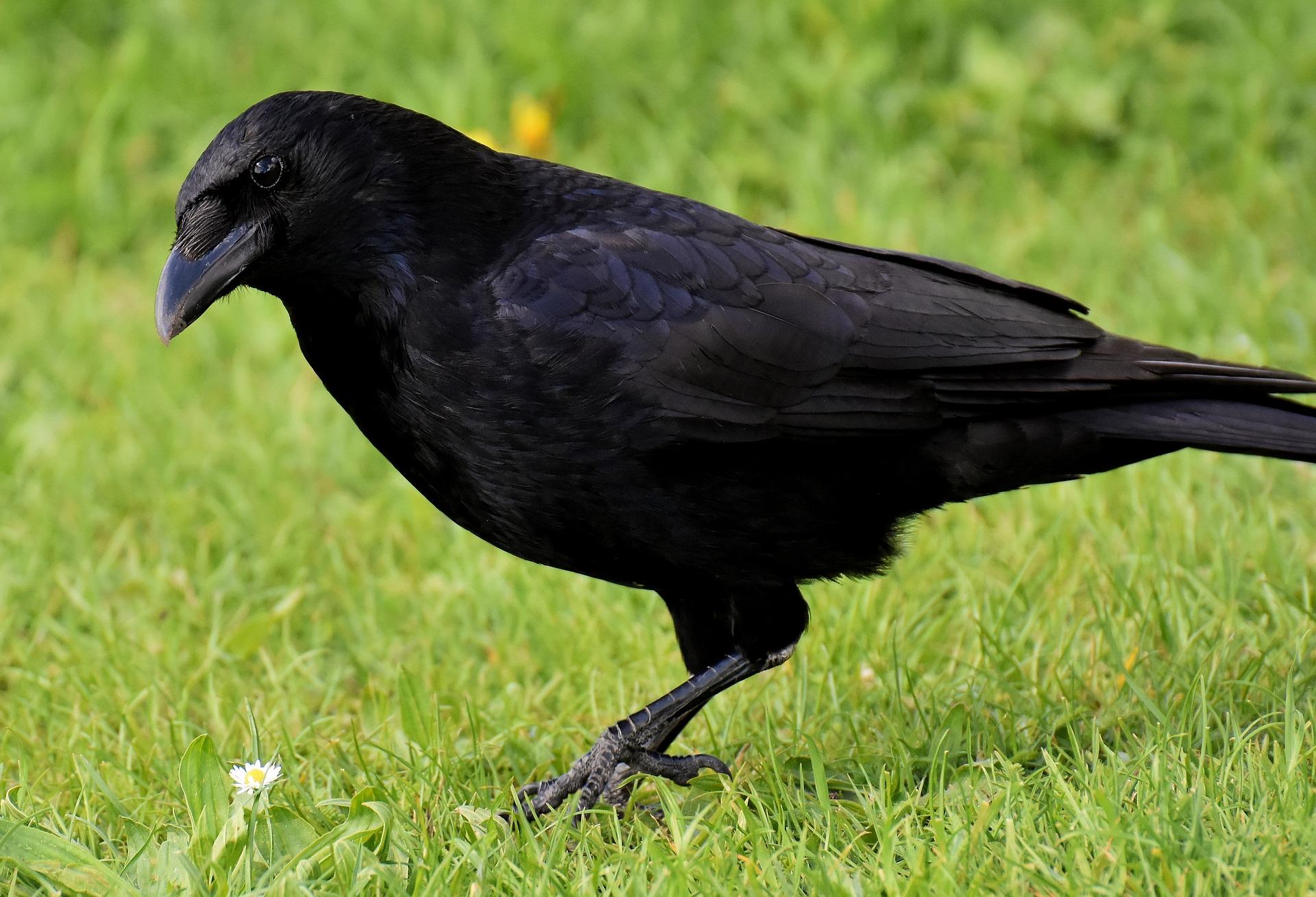 Oiseau ravageur