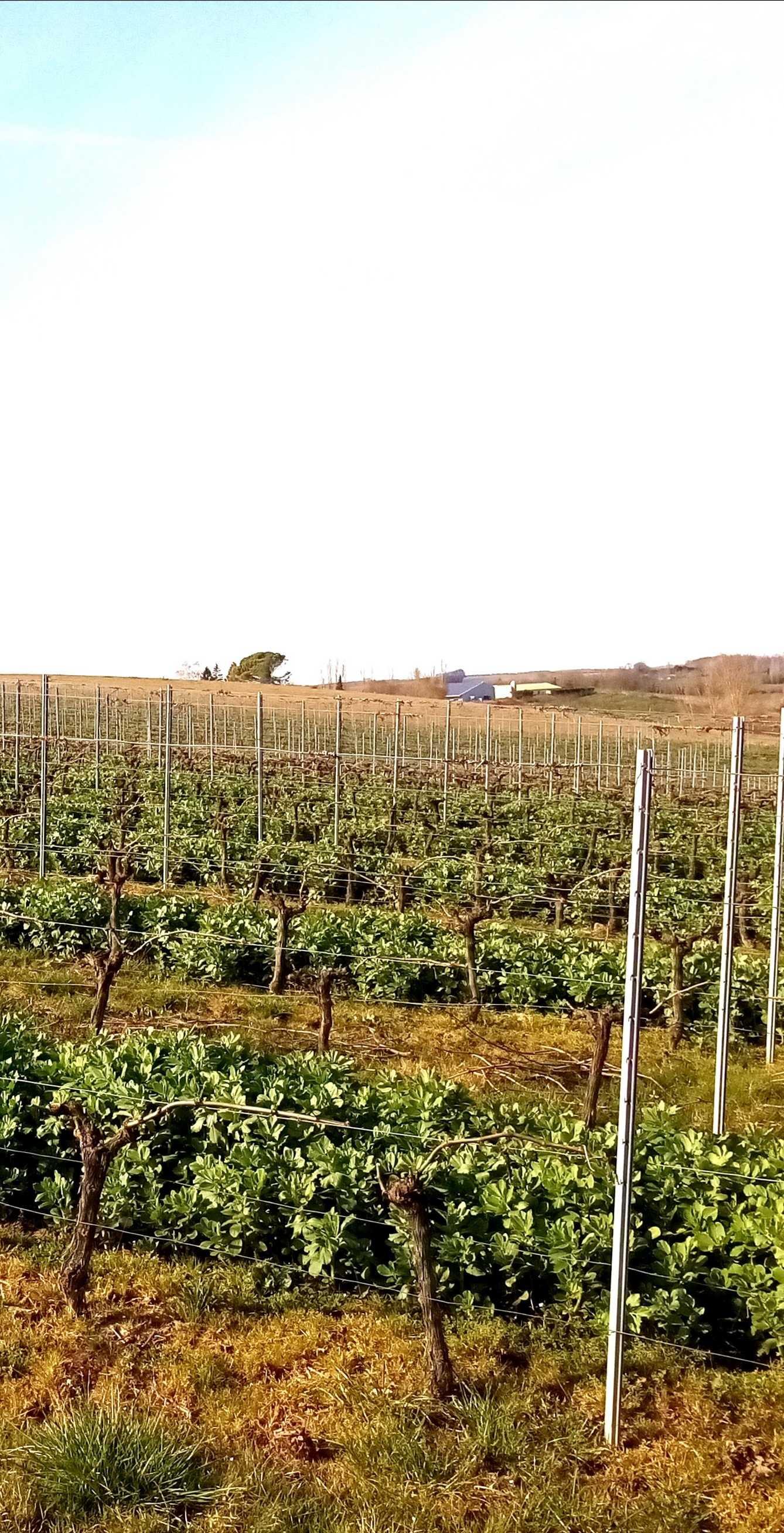 Bonjour, la présence de féveroles dans les rangs de vignes (souvent 1 rang sur 2, comme ici en Gironde) est de plus en plus répandue, notamment dans les vignobles conduits en biodynamie : elle apporte de l'azote (la féverole étant une légumineuse associée à des bactéries fixatrices d'azote atmosphérique), structure le sol avec son système racinaire bien développé), et reste facile à détruire au printemps (par roulage et broyage).