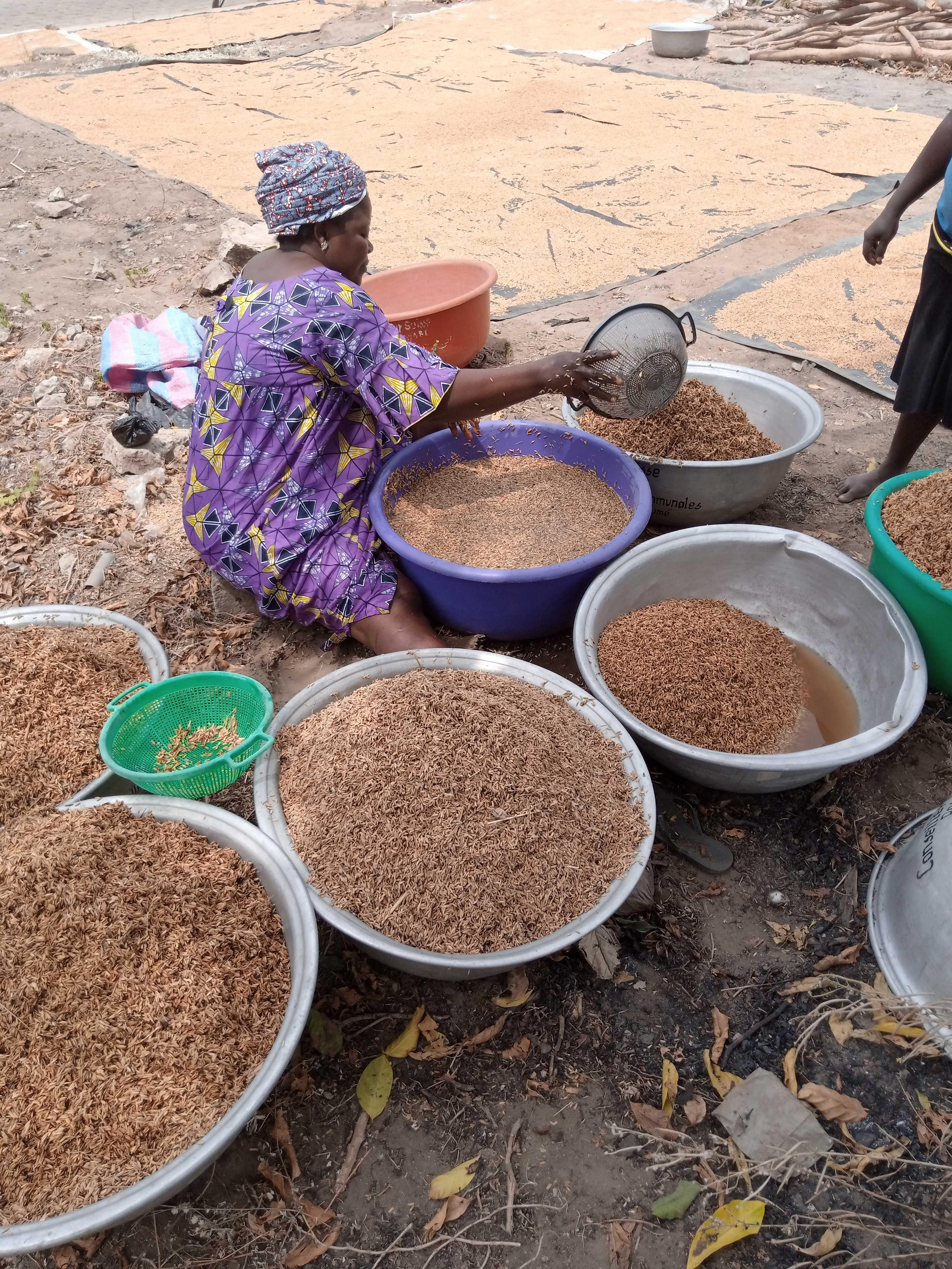 L'étuvage du riz paddy