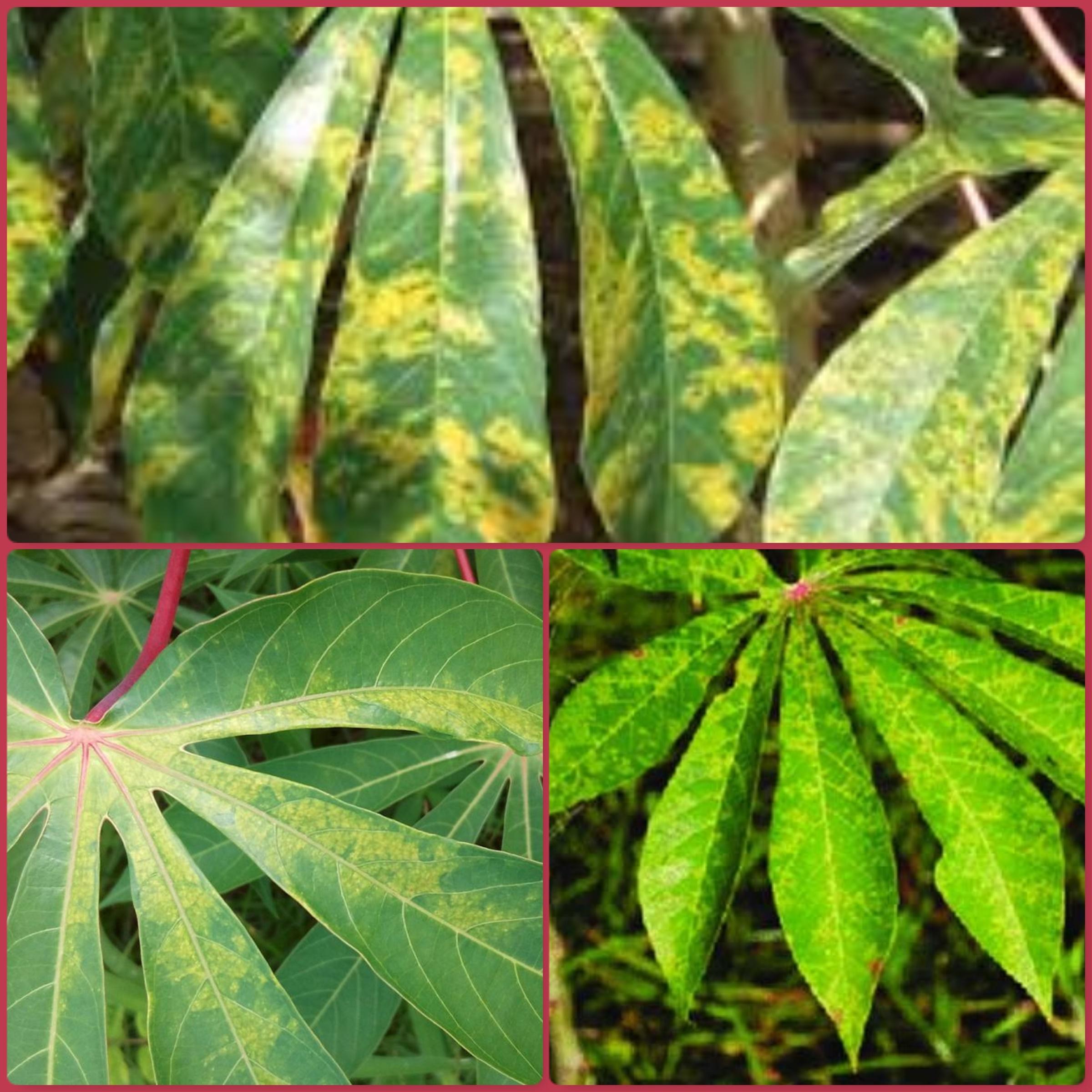 Le virus de la striure brune du manioc, un handicap pour la filière Manihot esculenta en Afrique