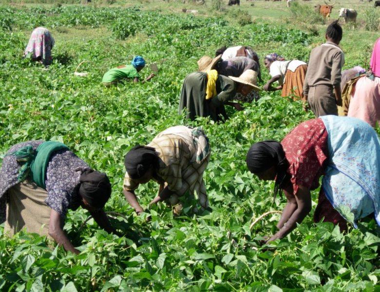Les organisation paysannes en Afrique de l'Ouest : Les groupements agricoles