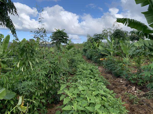 Jachère améliorée : Champ de manioc associé au aubergine, aux bananier et aux eucalyptus