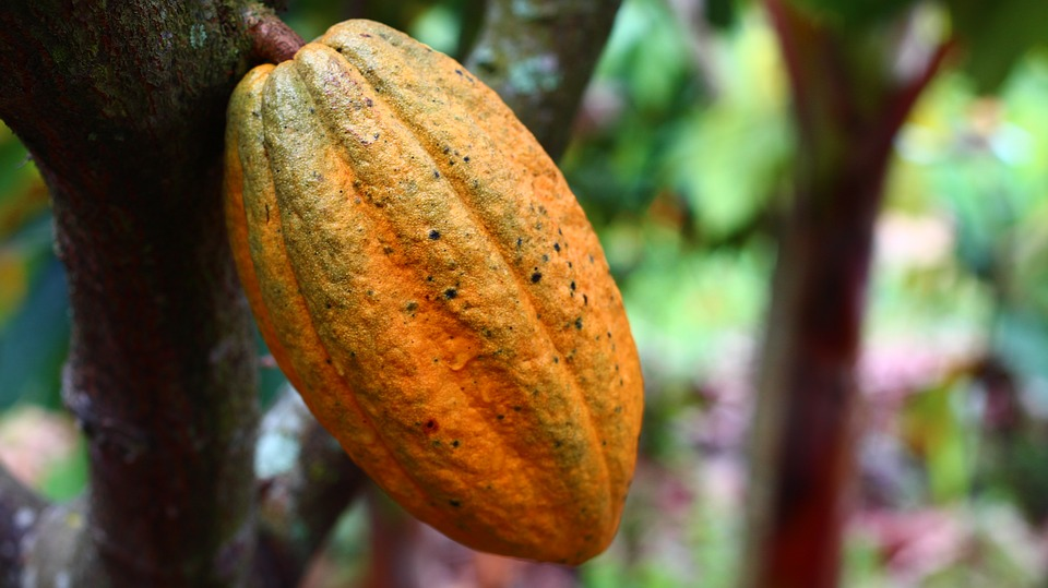 cacao en Côte d'Ivoire : cabosse de cacao