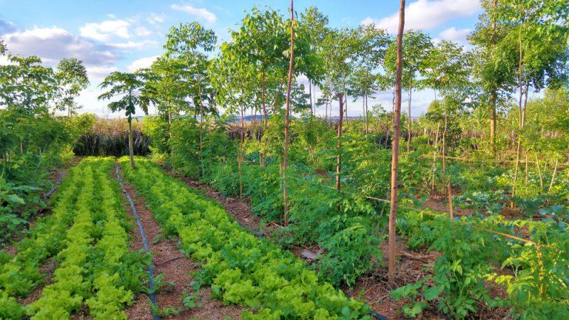 jachère améliorée arborée : Plantation agroforestière