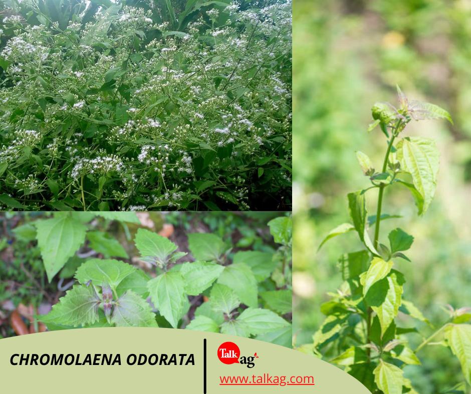 adventice Chromolaena odorata ou l'herbe de Laos