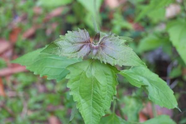 Lutte contre l'adventice Chromolaena odorata