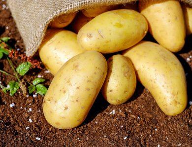 La pomme de terre, une filière agricole en plein boom au Sénégal