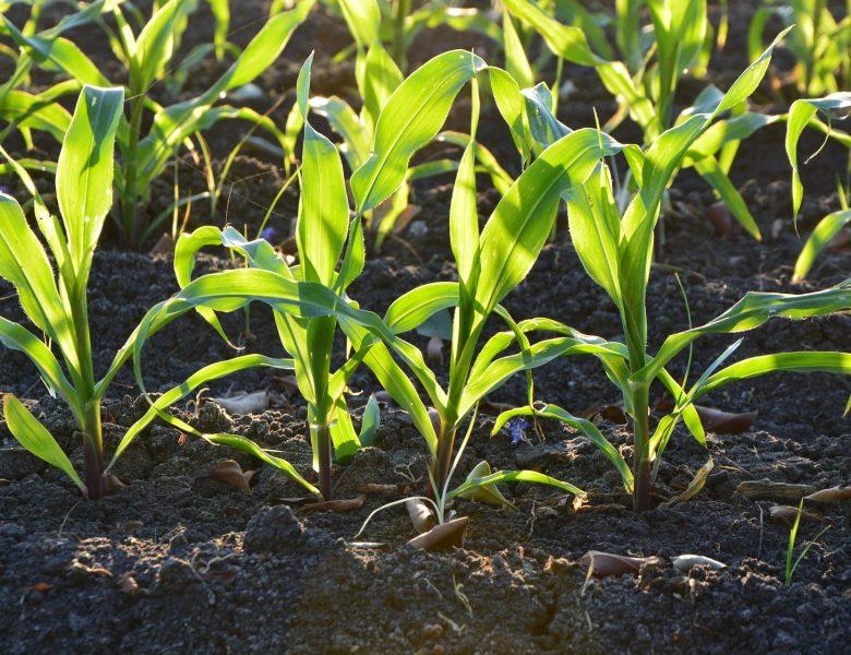 Y-A-T-IL UNE DIFFÉRENCE ENTRE L'AGRICULTURE BIOLOGIQUE ET L'AGRICULTURE ORGANIQUE ?