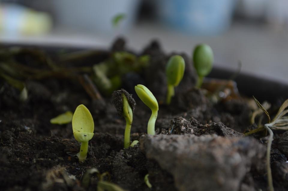 l'agriculture biologique et l'agriculture organique : Levé de semis en agriculture biologique